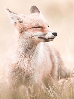 Little Wild fox, poster