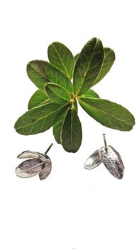 Silverörhänge lingonblad