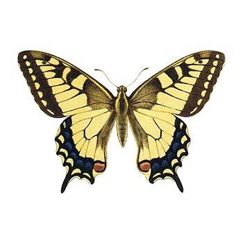 Papillon à queue d'aronde