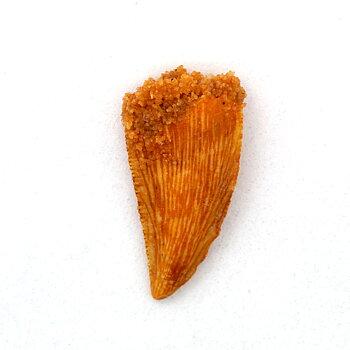 Dromaeosaur/ raptor- tooth