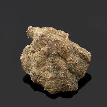Hexagonaria. 63x52 mm
