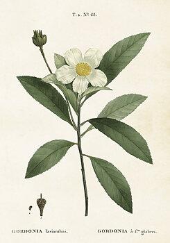 Gammaldags plansch skolplansch svenska växter Gardenia shabby chic lantlig stil