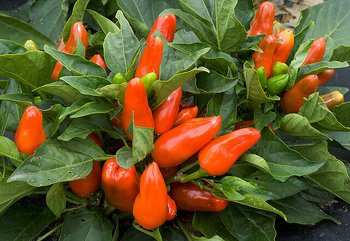 "Chili ""Tangerine Dream)"