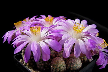 Mammillaria theresae