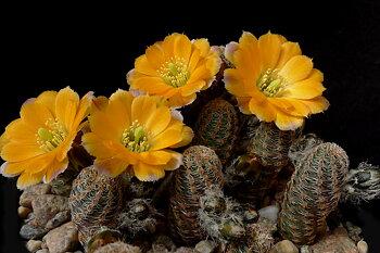 Rebutia pygmaea 'minor' MN 382a (Yunchara, Bolivia)