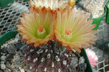 Eriosyce heinrichiana  FK 465 (Sarco)
