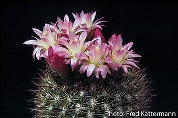 Eriosyce subgibbosa  FK 301 (Pta Curamilla, Chile)