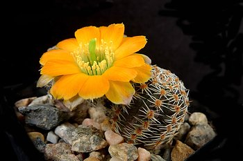 Rebutia pygmaea 'minor' MN 502