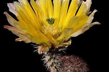 Echinocereus pectinatus ssp. rutowiorum (Cusihuiriachic, Chih, Mex)