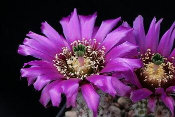 Echinocereus reichenbachii ssp. perbellus DJF 971.5 (Pueblo Co, CO)