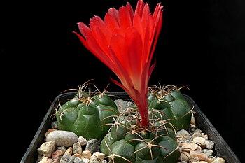 Matucana rebutiiflora GC 1162.02
