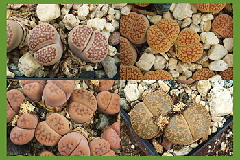 10 easy-to-grow Lithops!