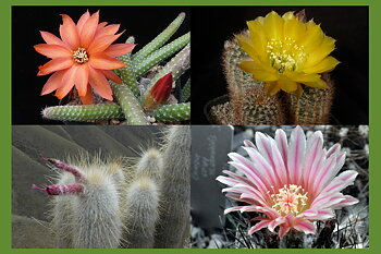10 easy to grow cacti!