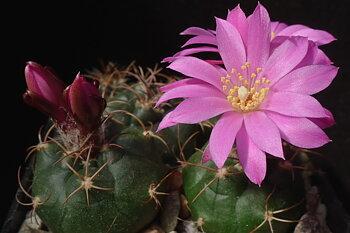 Matucana oreodoxa ssp. roseiflora GC 1084.04 (E Marañon river,  2500m, Peru)