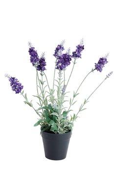 Lila Lavendel i svart plastkruka H40cm