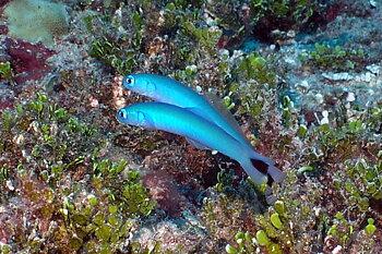 ptereleotris heteroptera (reef safe)