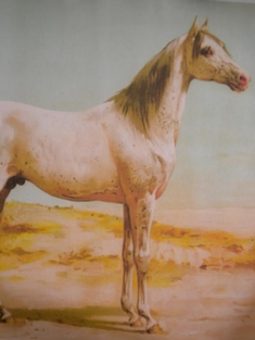ARABISKT FULLBLOD - OTTO EERELMAN