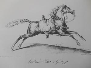 ARABISK HÄST I GALOPP - VERNET