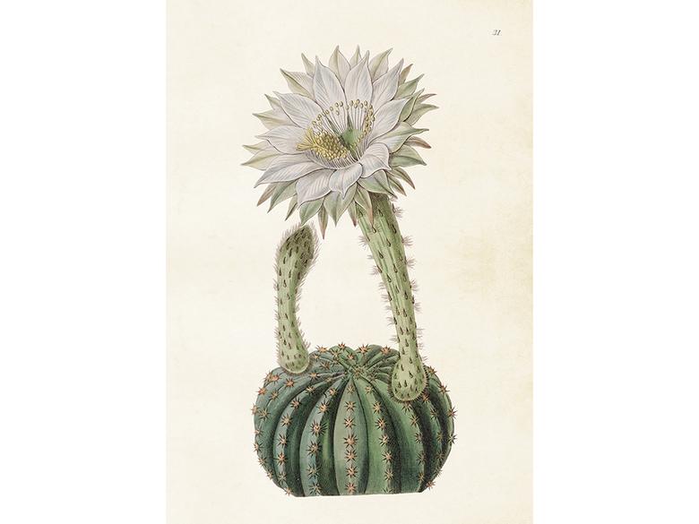 Affisch 'Kaktus' mellan
