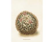 Affisch 'Mammillaria discolor' liten