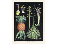 Affisch 'Ananas botanik' liten