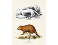 Affisch 'Hermelin  & bäver' liten