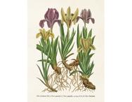 Affisch 'Irisar' liten