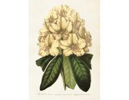 Affisch 'Rhododendron' stor