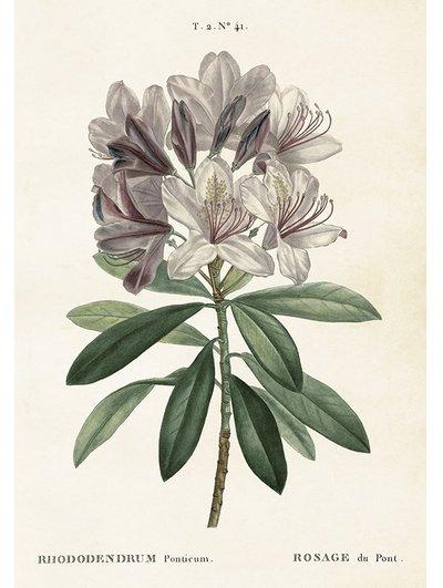 Gammaldags plansch skolplansch svenska växter Rhododendron shabby chic lantlig stil
