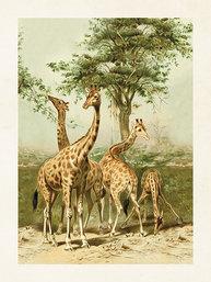 Gammaldags liten plansch skolplansch Giraff  shabby chic lantlig stil