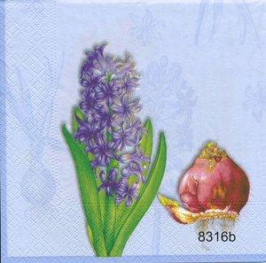 Hyacint 4 olika motiv  8316