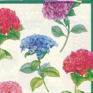 Hortensia i olika färger  8226