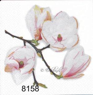 Fin magnolia  8158