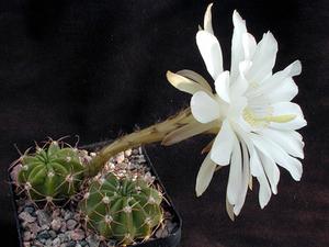 Echinopsis spec. WR 589a (Villa Serano, Bol)