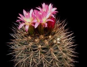 Eriosyce subgibbosa  FK 410 (Los Vilos)