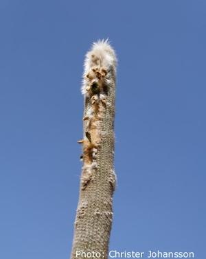 Espostoa lanata ssp. huanucensis