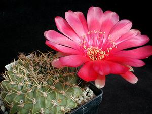 Lobivia cinnabarina v. grandiflora WR 265 (Presto, Bol)