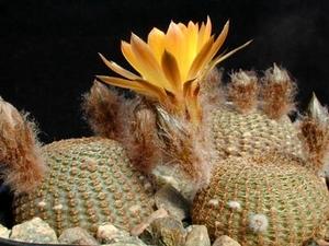 Lobivia famatimensis   FR 459 (Famatina, Arg)