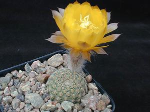 Lobivia famatimensis v. sanjuanensis WR 557 (San Juan, Arg)