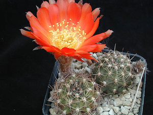 Lobivia haematantha v. jasimanensis DH 340a