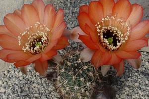 Lobivia marsoneri v. iridescens MN 56 (N Humahuaca, Arg)