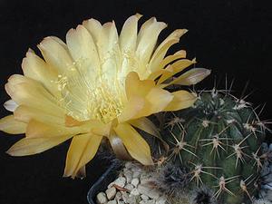 Lobivia pugionacantha v. versicolor WR 299 (Cucho Ingenio, Bol)