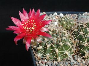 Lobivia tiegeliana v. duursmaiana WR 517 (Trigohuaico, Salta)