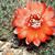 Rebutia atrovirens v. haefneriana RH 339 (Ex brunescens '99) (Esquire, 3950m, Bol)