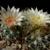 Escobaria missouriensis v. marstonii LZ 812 (Arizona Strip, Arizona, USA)