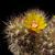 Weingartia pucarensis HJ 1201 (Cerro Pucara, 2150-2500 m, Bol)