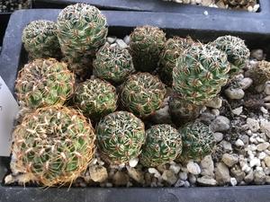 [PLANT/PFLANZE] Sulcorebutia caniguerallii  WR 599