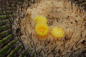 Echinocactus platyacanthus (El Barrial, NL)