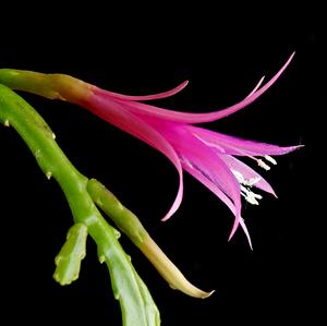 Disocactus biformis ex Lautner