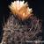 Eriosyce crispa ssp. atroviridis FK 160 (10 kms S Freirina)